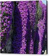 Purple Hanging Flowers Acrylic Print