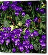 Purple Hearts Acrylic Print