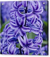 Purple Hyacinth Acrylic Print