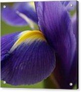 Purple Iris 8 Acrylic Print