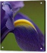 Purple Iris 9 Acrylic Print