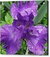 Purple Iris After The Rain Acrylic Print