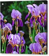 Purple Iris Bliss Acrylic Print