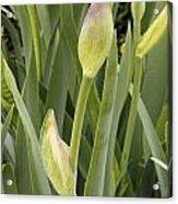 Purple Iris Is Born Acrylic Print