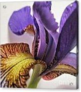 Purple Iris Macro 5 Acrylic Print