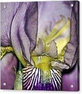 Purple Iris - Macro Acrylic Print