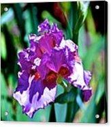 Purple Iris Opens Acrylic Print