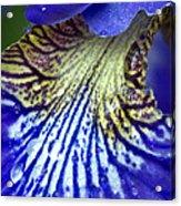 Purple Iris Petal Acrylic Print