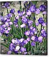 Purple Irises Acrylic Print