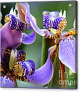 Purple Irises Closeup Acrylic Print