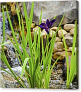 Purple Irises Growing In Waterfall Acrylic Print
