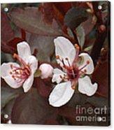 Purple Leaf Sand Cherry Burst Acrylic Print