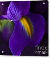 Purple Light Iris Macro Acrylic Print