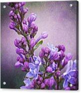 Purple Lilacs Acrylic Print
