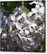 Purple Lilacs II Acrylic Print