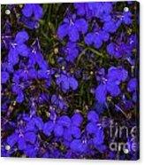 Purple Lobelia Acrylic Print