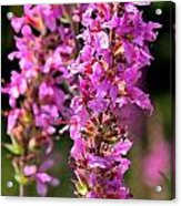 Purple Loosestrife Tall Acrylic Print