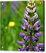 Purple Lupine Flower Acrylic Print