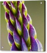 Purple Lupine Macro Acrylic Print