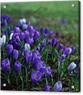 Purple Melody Acrylic Print