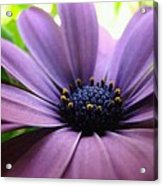 Purple Mexican Flower Acrylic Print