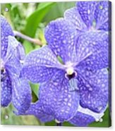 Purple Mokara Orchid Acrylic Print