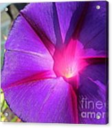 Purple Morning Glory - Flower Acrylic Print