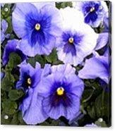 Purple Morning Glory Acrylic Print
