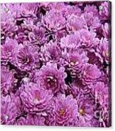Purple Mums Acrylic Print