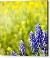 Blue Muscari Mill Bunches Of Grapes Close-up  Acrylic Print