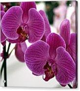 Royal Orchids  Acrylic Print