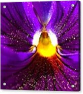 Purple Pansy Detail Acrylic Print