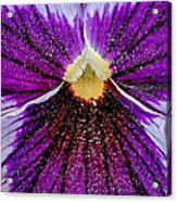 Purple Pansy In Pollen Acrylic Print
