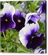 Purple Pansy Melody Acrylic Print