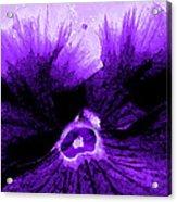 Purple Pansy Rising Acrylic Print
