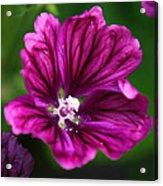 Purple Hollyhock Acrylic Print