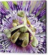 Purple Passion Flower Close Up  Acrylic Print
