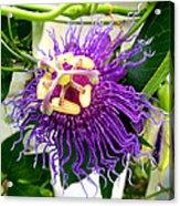 Purple Passion Flower Acrylic Print