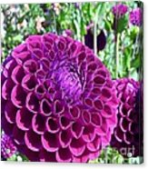 Purple Perfection Dahlia Flower Acrylic Print