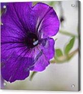 Purple Petunia 2013 Acrylic Print