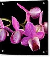 Purple Phal Acrylic Print