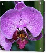 Purple Phalaenopsis Orchids Acrylic Print