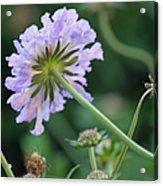 Purple Pincushion Flower Acrylic Print
