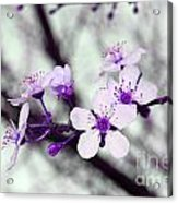 Purple Pink Blossoms Acrylic Print