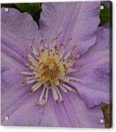 Purple Pleaser Acrylic Print