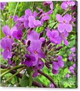 Purple Popping 2 Acrylic Print