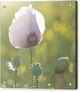 Purple Poppy Flower Portrait In Summer Sunlight Acrylic Print