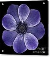 Purple Poppy Acrylic Print