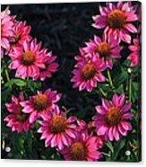 Purple Pow Echinacea  Acrylic Print