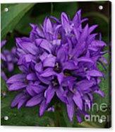 Purple Pride Acrylic Print